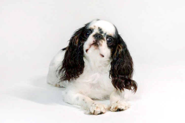 English Toy Spaniel lying down facing forward
