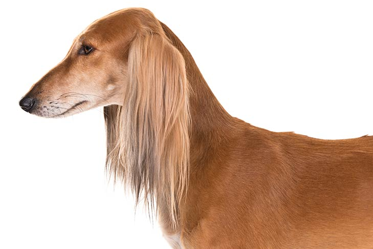 Saluki head and shoulders facing left.