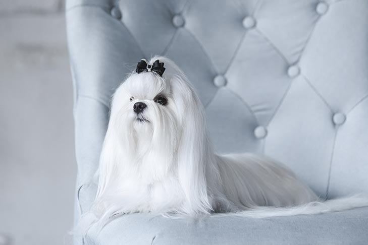 Maltese laying down in a chair.