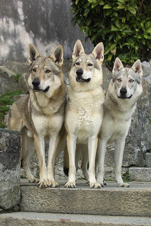 Image result for Czechoslovakian Wolfdog