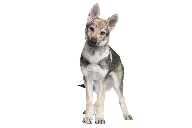 Czechoslovakian Vlcak puppy facing forward standing on a white background with its head tilted.