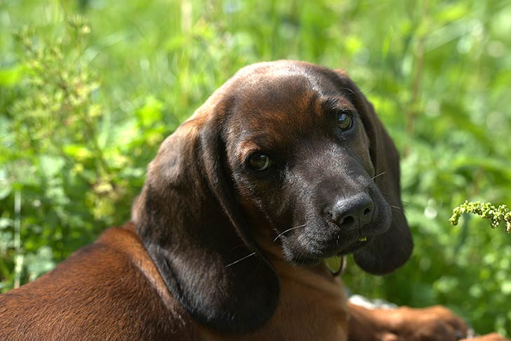 Close-up of a Bavarian Mountain Scent Hound puppy lying outdoors.