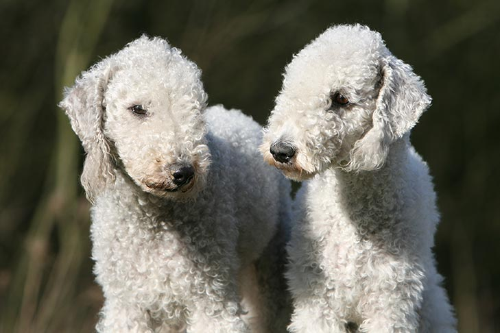 Two Bedlington Terriers together outdoors.