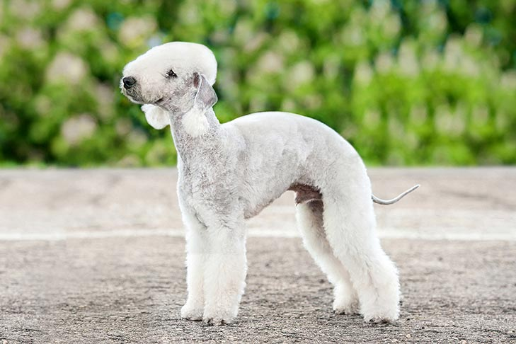 Bedlington Terrier standing outdoors.