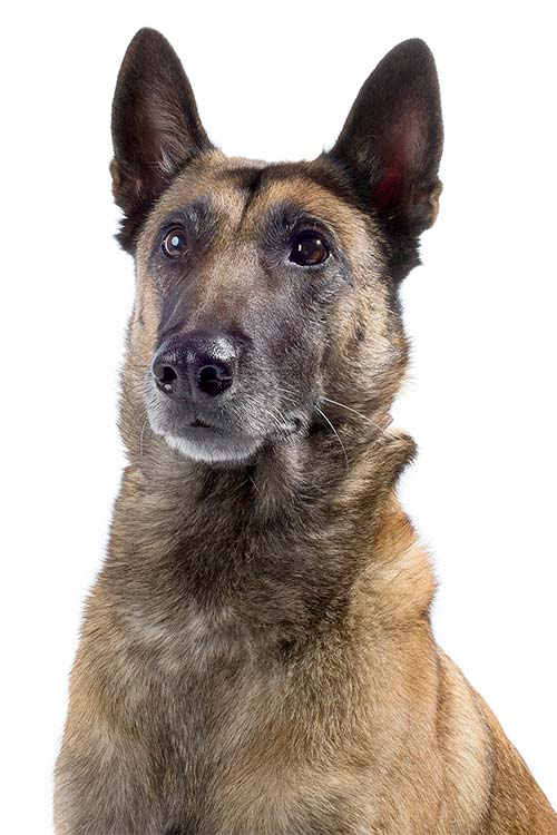 Belgian Malinois head and shoulders on a white background.