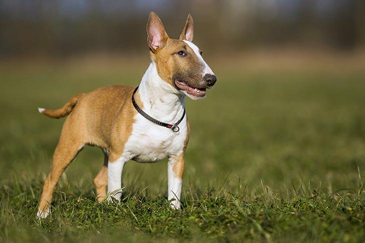 https://s3.amazonaws.com/cdn-origin-etr.akc.org/wp-content/uploads/2017/11/09231807/Miniature-Bull-Terrier-standing-outdoors.jpg