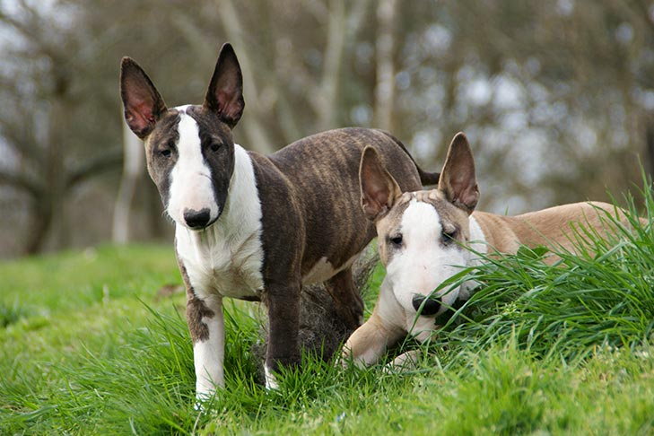 Two Miniature Bull Terrier puppies together outdoors.
