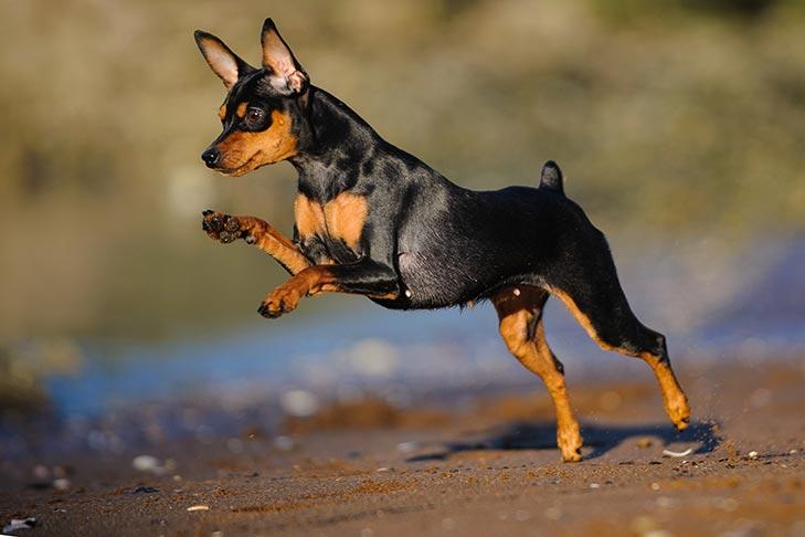 Miniature Pinscher running and playing outdoors.