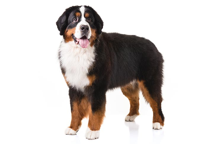 Bernese Mountain Dog Dog Breed Information