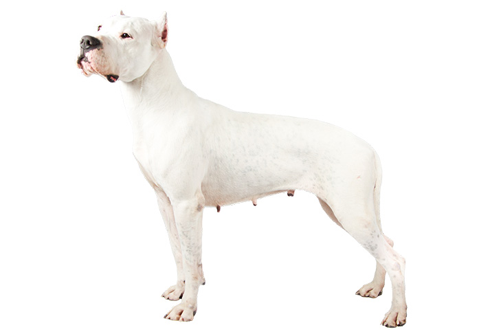 Dogo Argentino standing sideways facing left.