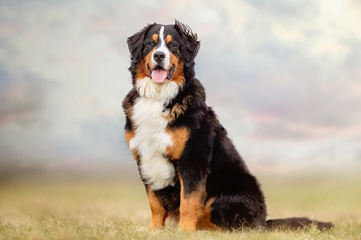 Bernese Mountain Dog sitting in a field outdoors.