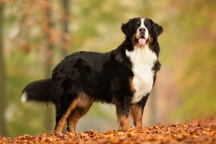 Bernese Mountain Dog standing in fall leaves.