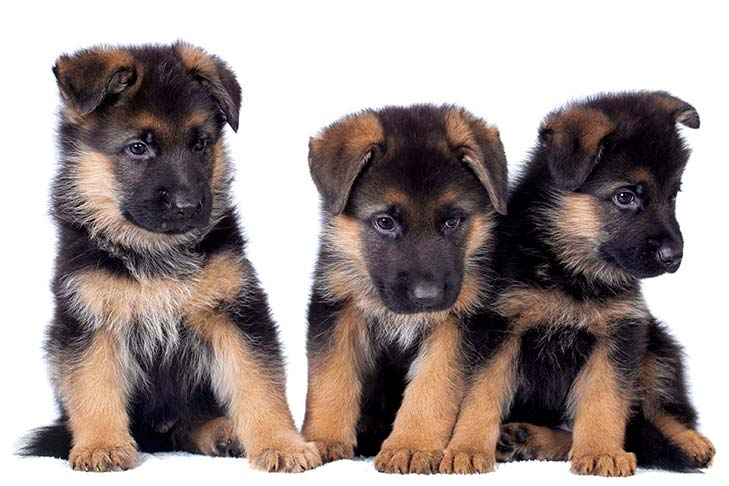 Three German Shepherd puppies sitting side by side.