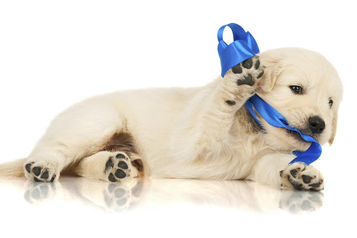 Golden Retriever puppy playing with a blue ribbon.