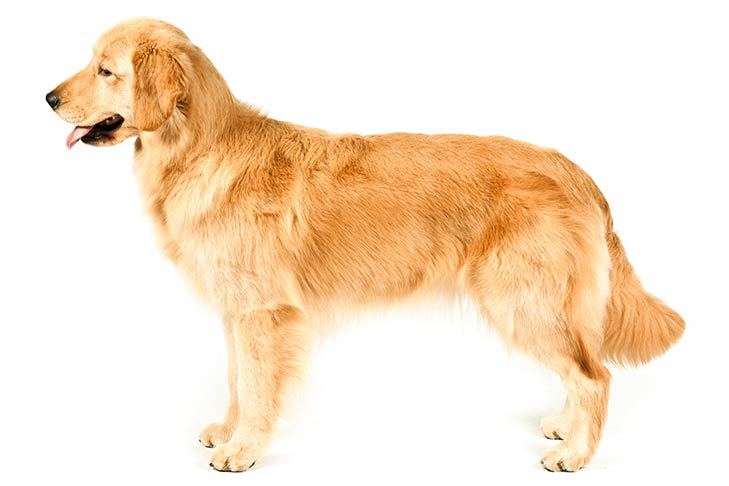 Golden Retriever standing sideways facing left.