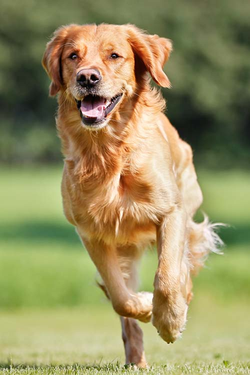 Golden Retriever running forward.
