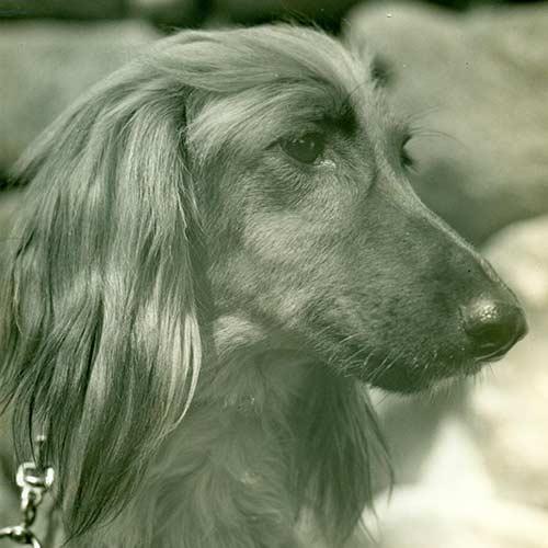 Afghan Hound Dog Breed Information - American Kennel Club