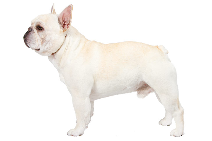 French Bulldog standing sideways facing left.