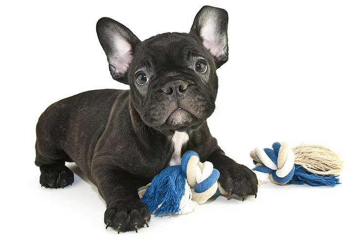 French Bulldog puppy lying with a rope toy.