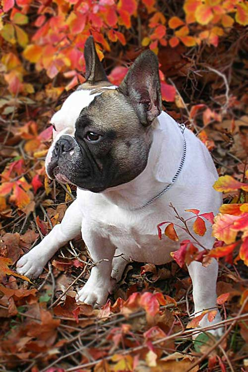French Bulldog sitting amongst bright red fall leaves.