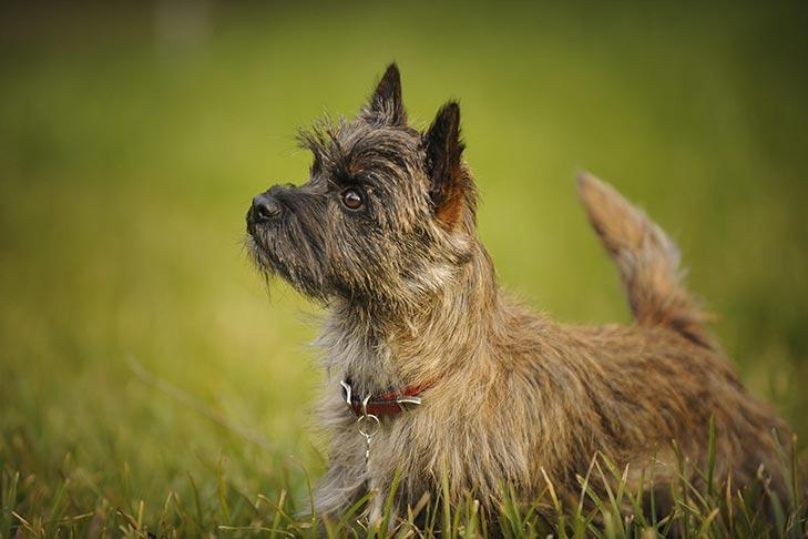 Cách chăm sóc chó Cairn Terrier, và các bệnh thường gặp - Ký sinh trùng