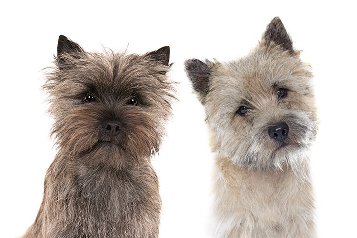 Cách chăm sóc chó Cairn Terrier