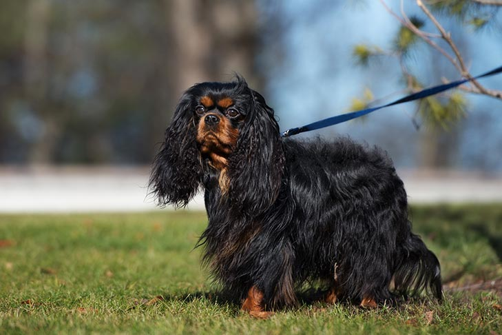 Cavalier King Charles Spaniel on a leash outdoors.