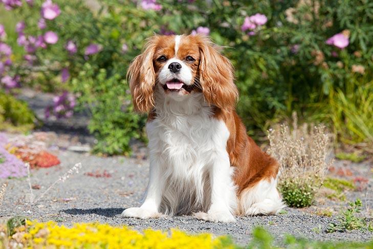 Cavalier King Charles Spaniel sitting outdoors.