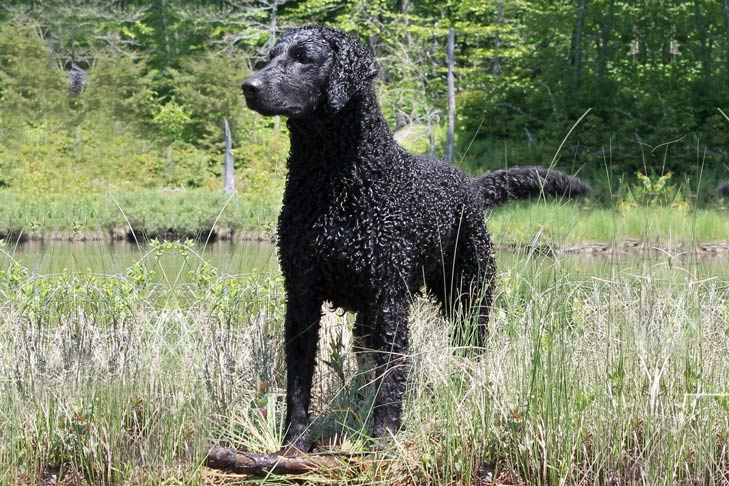 Wet Curly-Coated Retriever standing in tall grasses next to a pond.