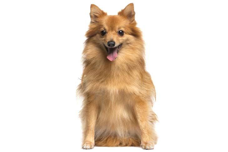 German Spitz sitting facing forward