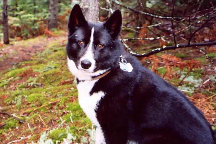 Karelian Bear Dog sitting outdoors facing left, head turned forward