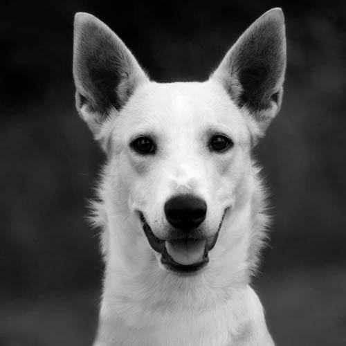 Which Breed Of Dog Is Senstive To Ivermectin