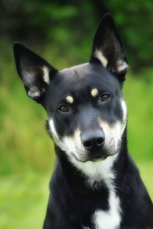 Carolina Dog head