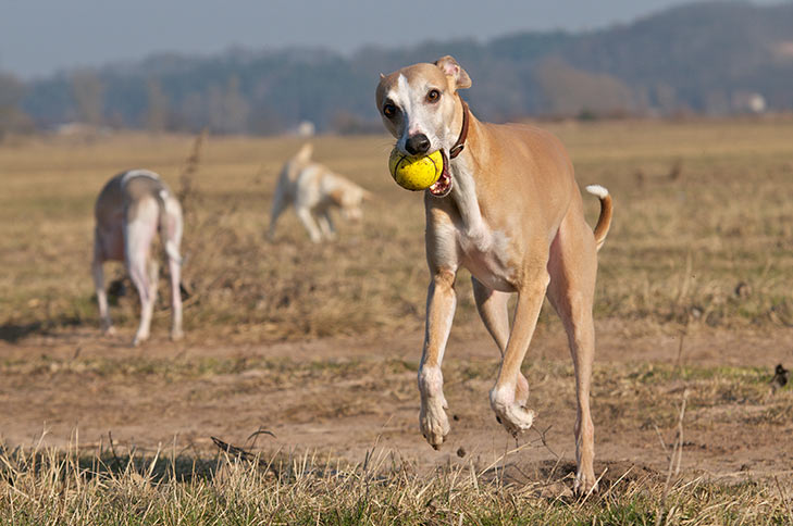 Whippet running forward with a ball in its mouth in a field