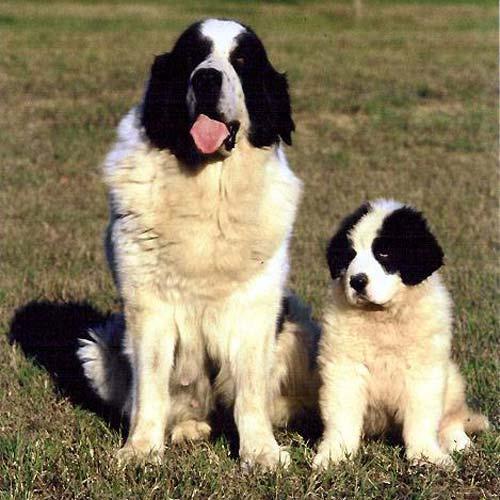 American Mastiff Dog Breed