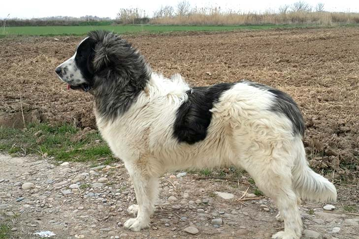 Pyrenean Mastiff standing on gravel with fallow farmland in the background