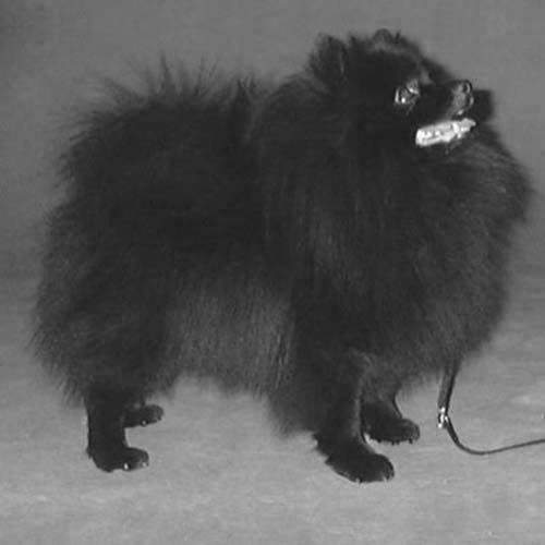 Black-coated German Spitz standing looking up