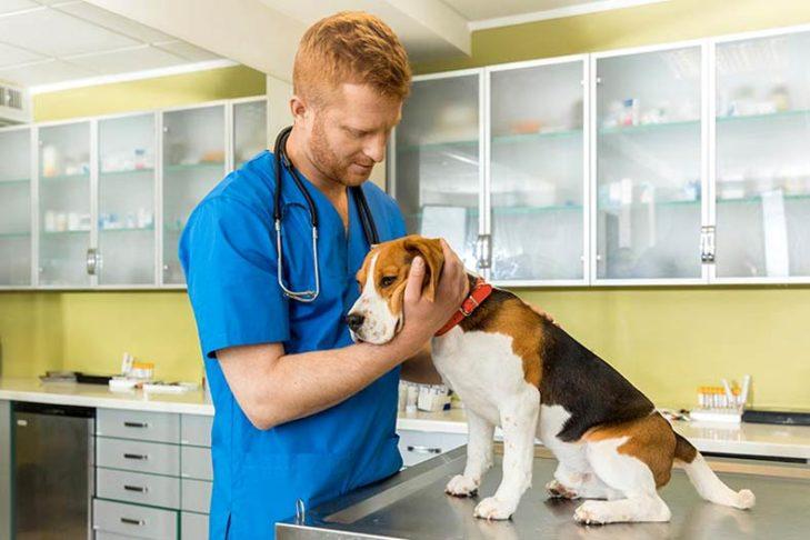 Beagle at the vet