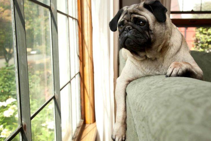 Мопс смотрит в окно
