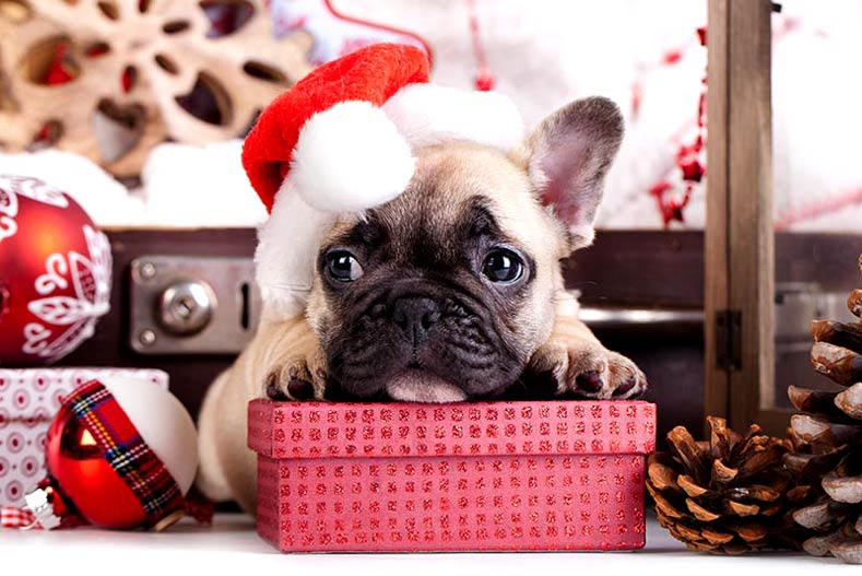 Frenchie Puppy in a Santa hat during the holidays