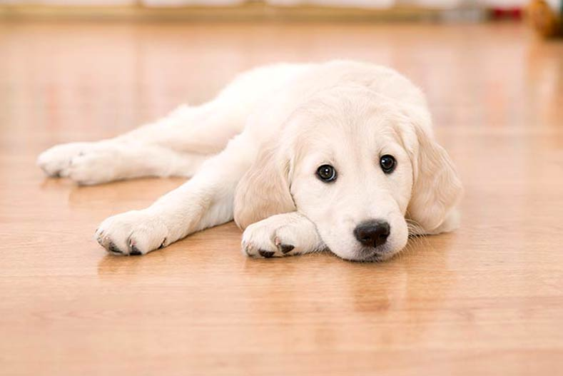 What Is The Best Flooring For Dogs And Other Rambunctious House Pets - Which flooring is best for house