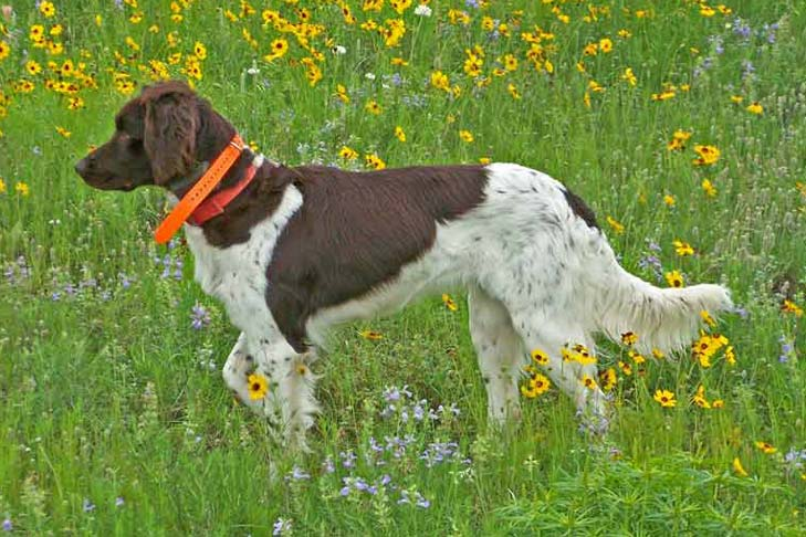 Small Munsterlander Pointer walking through a green field of tall wildflowers