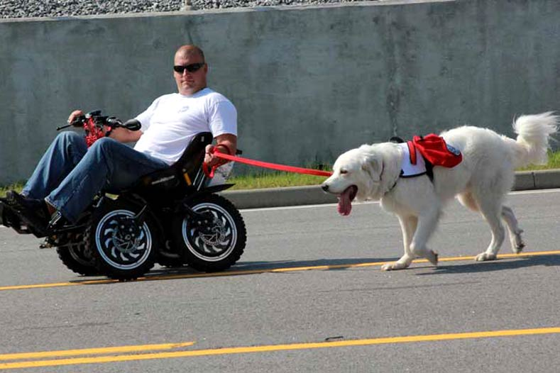 Great Pyrenees Gunner Service Dog