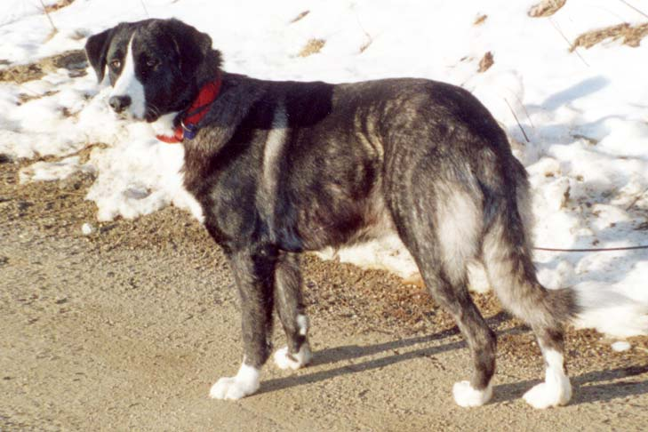 Rafeiro do Alentejo Dog Breed Information - American Kennel Club