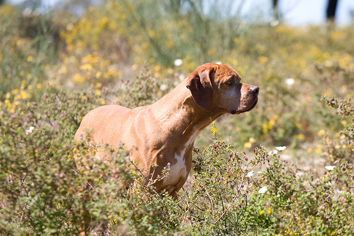 Portuguese Pointer standing in tall grasses and white and yellow flowers