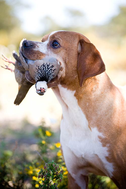 Portuguese Pointer Dog Breed Information American Kennel