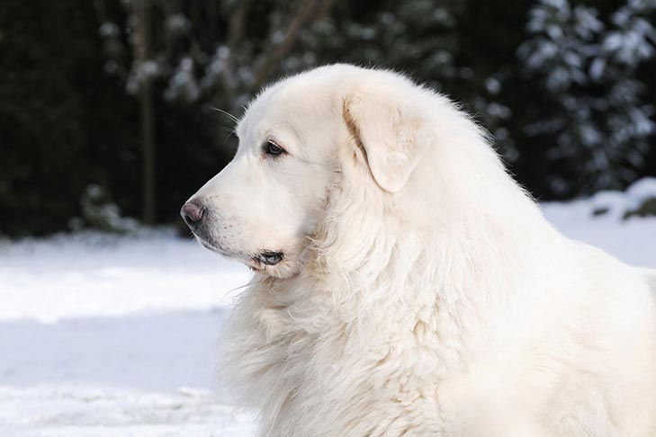 Great Pyrenees head facing left with snow on the ground behind