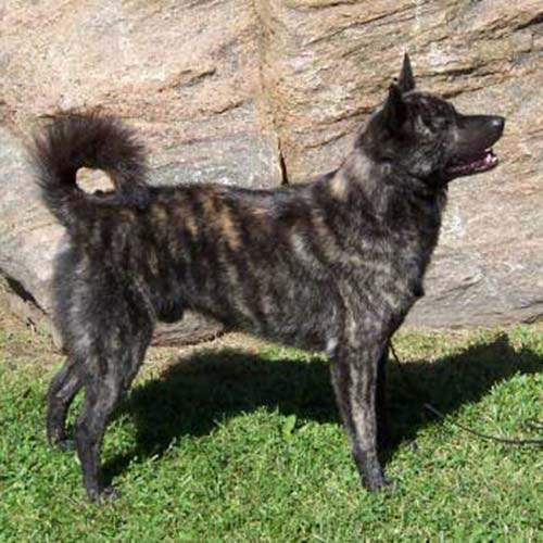 Dog Breeds Kai Ken Information And Pictures