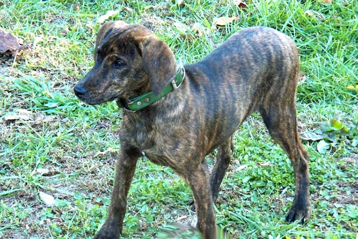Cur Dog Breed