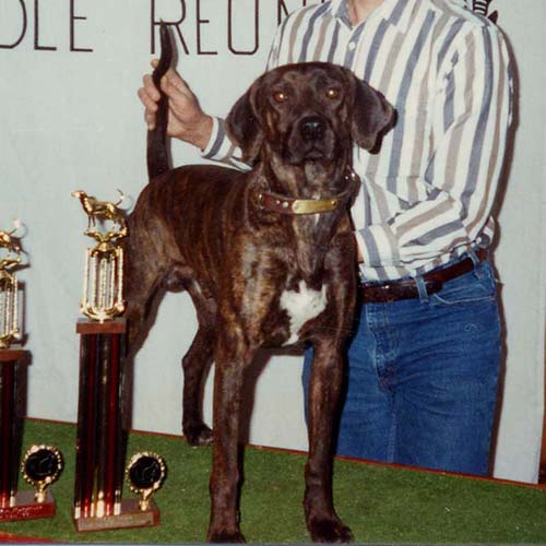 Treeing Tennessee Brindle Dog Breed Information - American